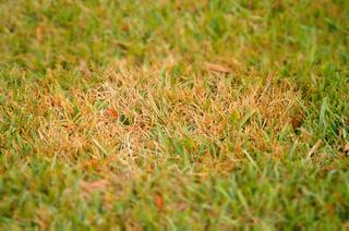 lawn_disease_spotlight_Pythium_blight.jpg