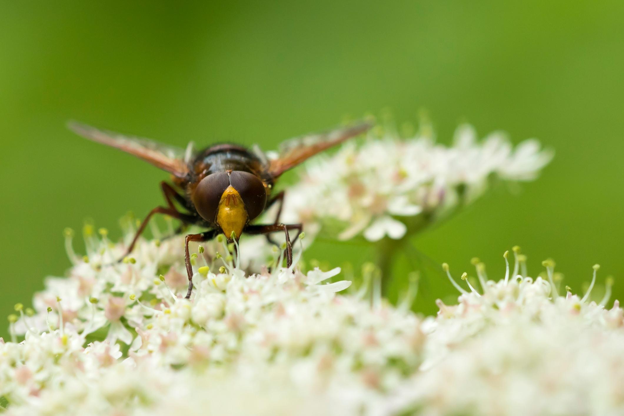 parasitic-mini-wasp.jpg