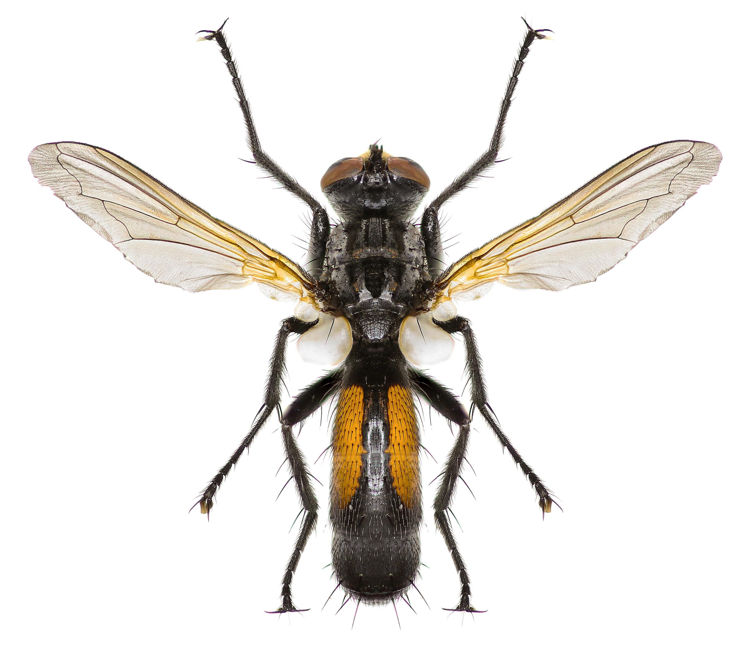 tachinid-fly.jpg