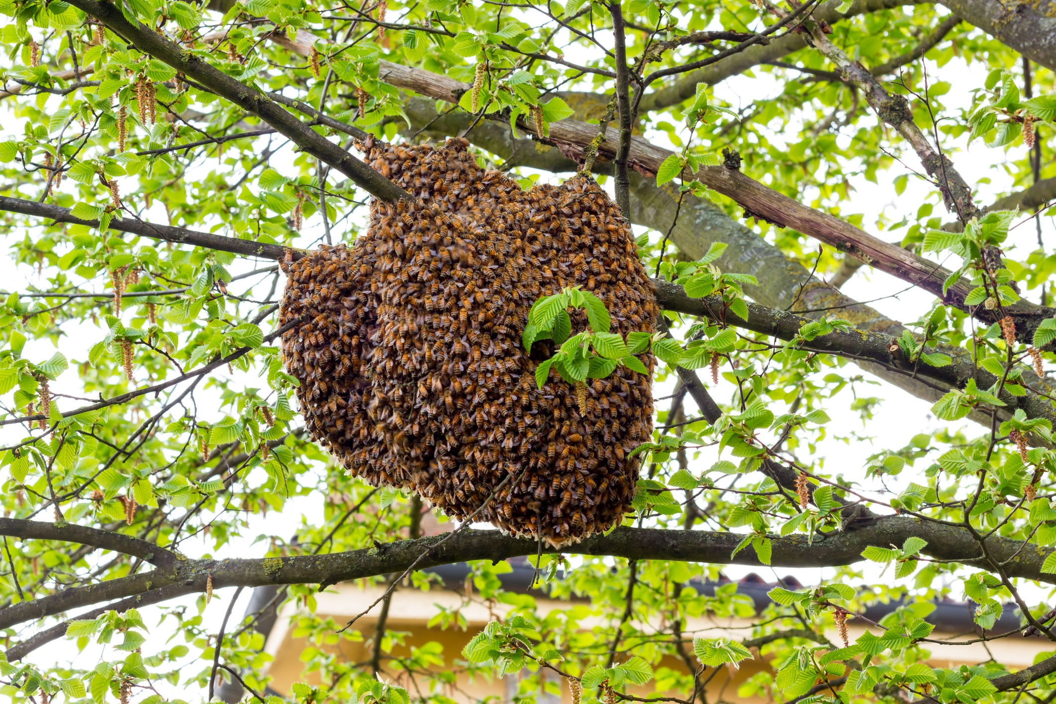 what-to-do-with-a-honey-bee-swarm.jpg