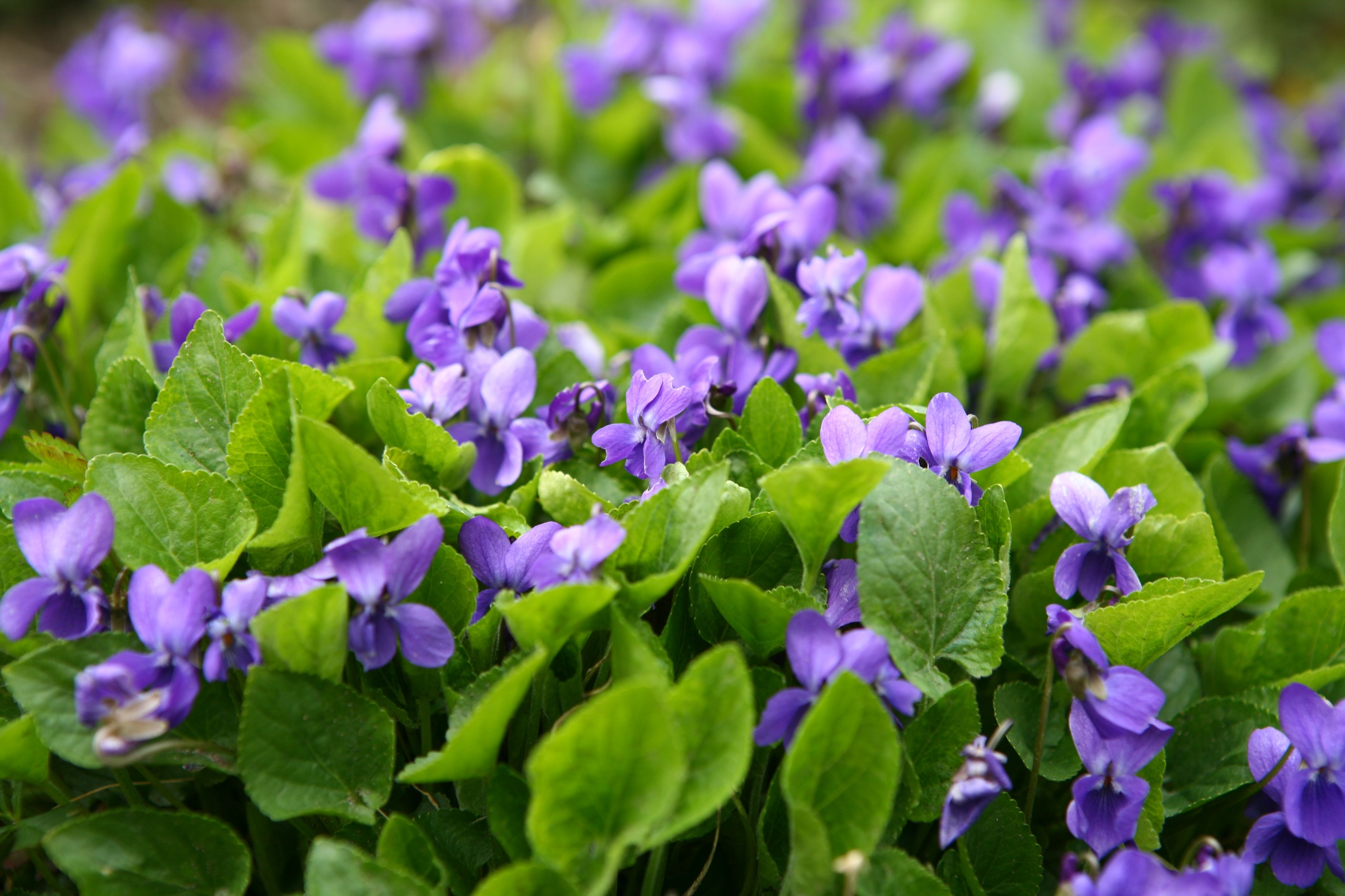wild-violet-identification-and-control.jpg