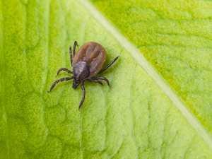 tick-on-leaf