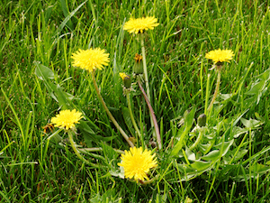 weeds-lawn