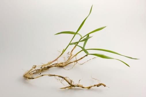 when-does-crabgrass-seed-germinate