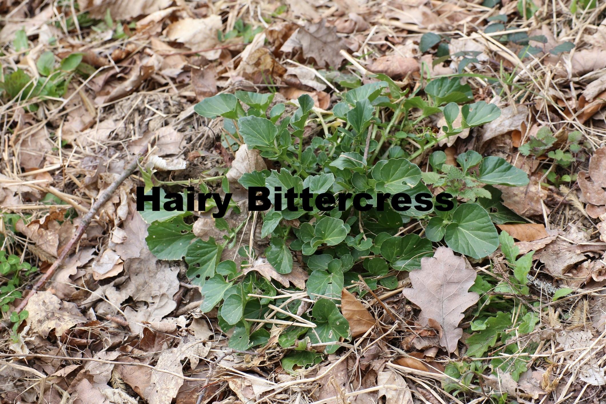 Hairy-Bittercress-Identification-844258-edited.jpg