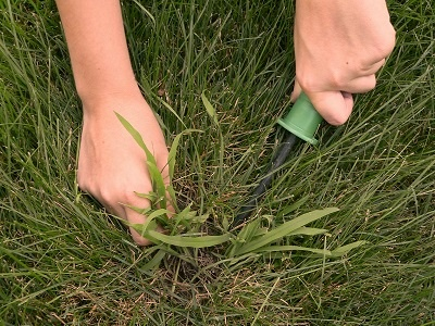 Lawn_Weeds