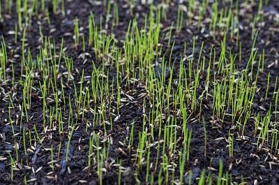 Seeding_Your_Lawn-1