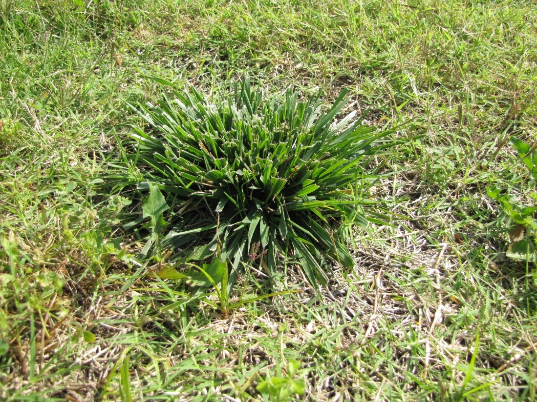 Sprawling Clumps Of Thick Grass In The Yard What Is It